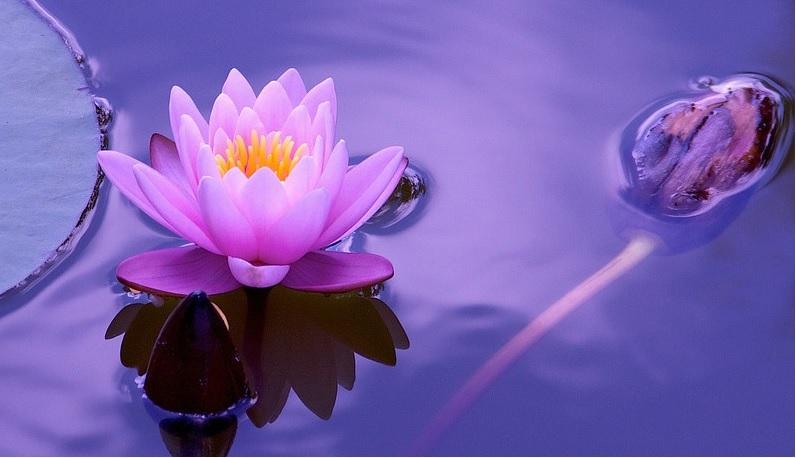 lotus nature